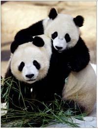 osos pandas :)
